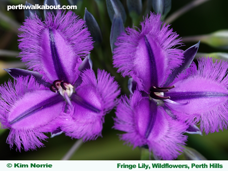 fringe-lily-wildflowers-perth-hills